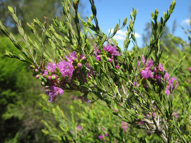 Photo of Melaleuca thymifolia
