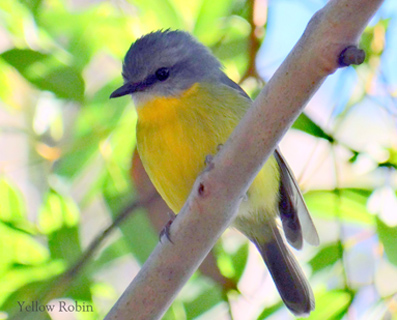 A yellow Robin