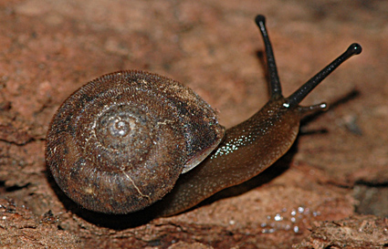 A native snail